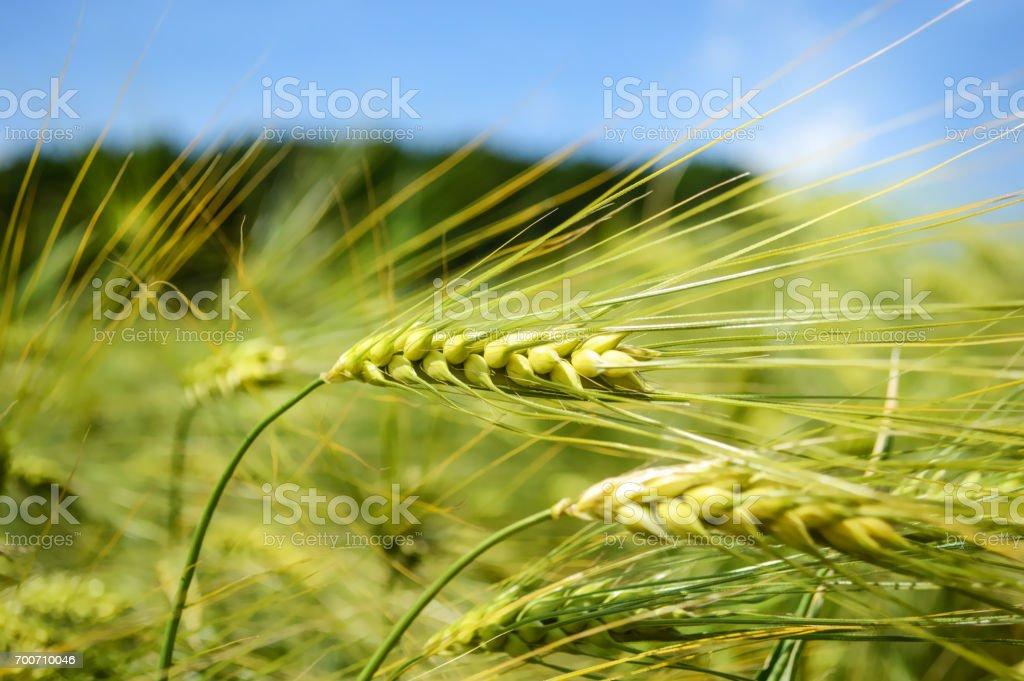Rye Grass stock photo