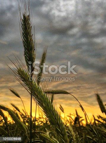 510149992 istock photo Rye in the sunset 1010028948