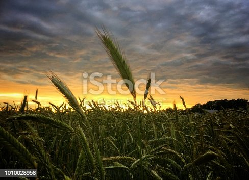 istock Rye in the sunset 1010028956