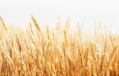 Rye on a white background. Harvest.