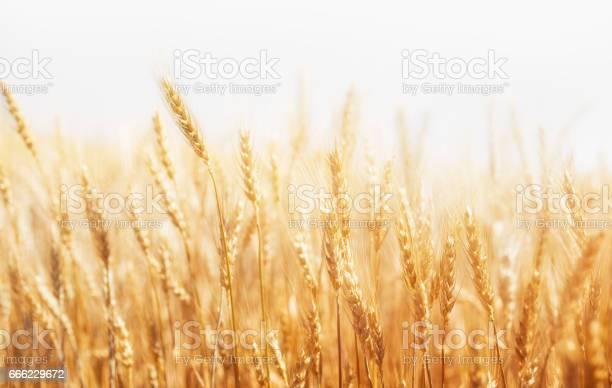 ye on a white background. Harvest.