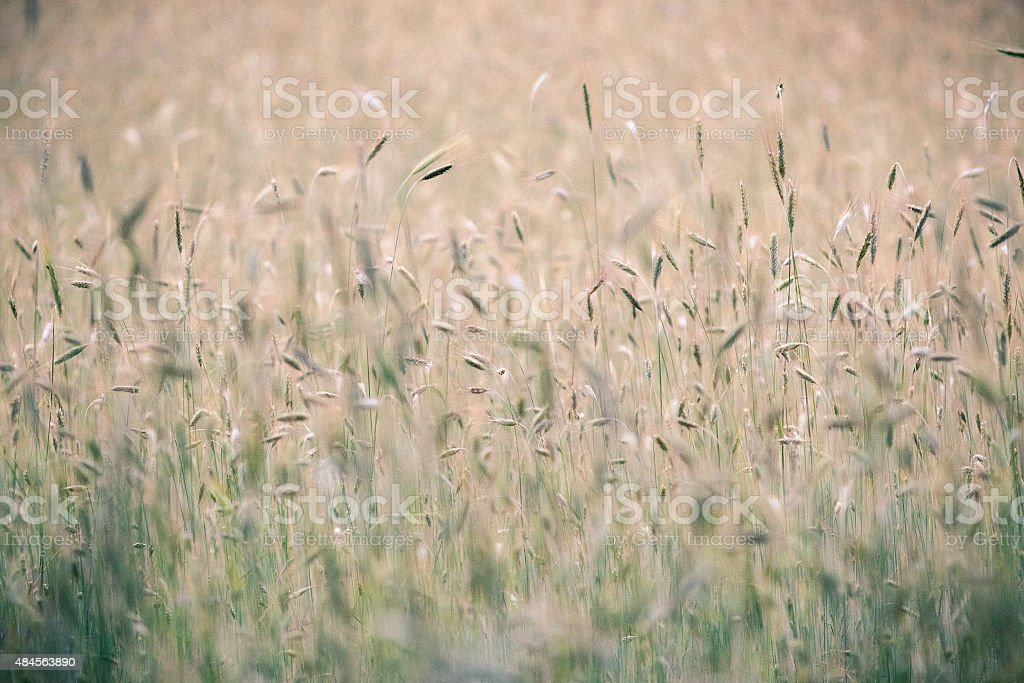 Rye, pattern. stock photo