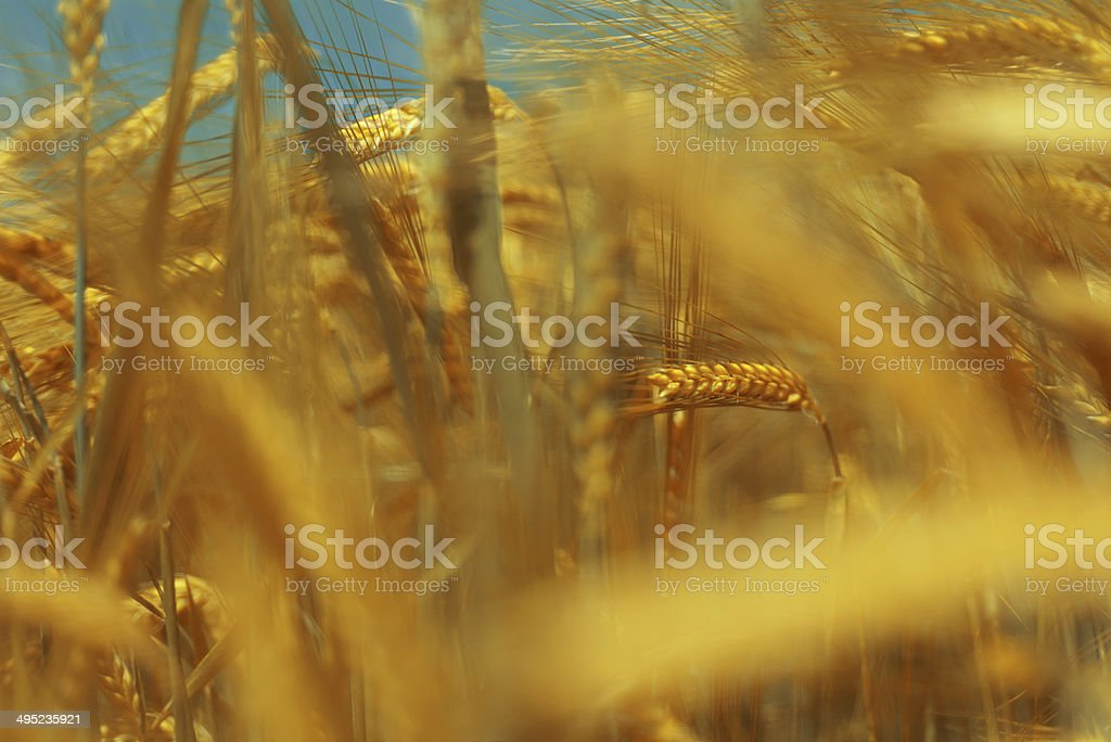 Rye plant in yellow field royalty-free stock photo