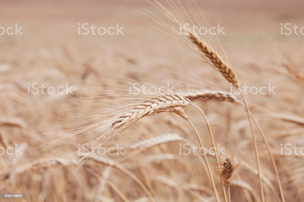 Rye spikelets. Cereal field background stock photo