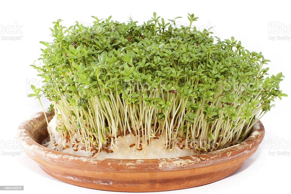 Rzeżucha stock photo