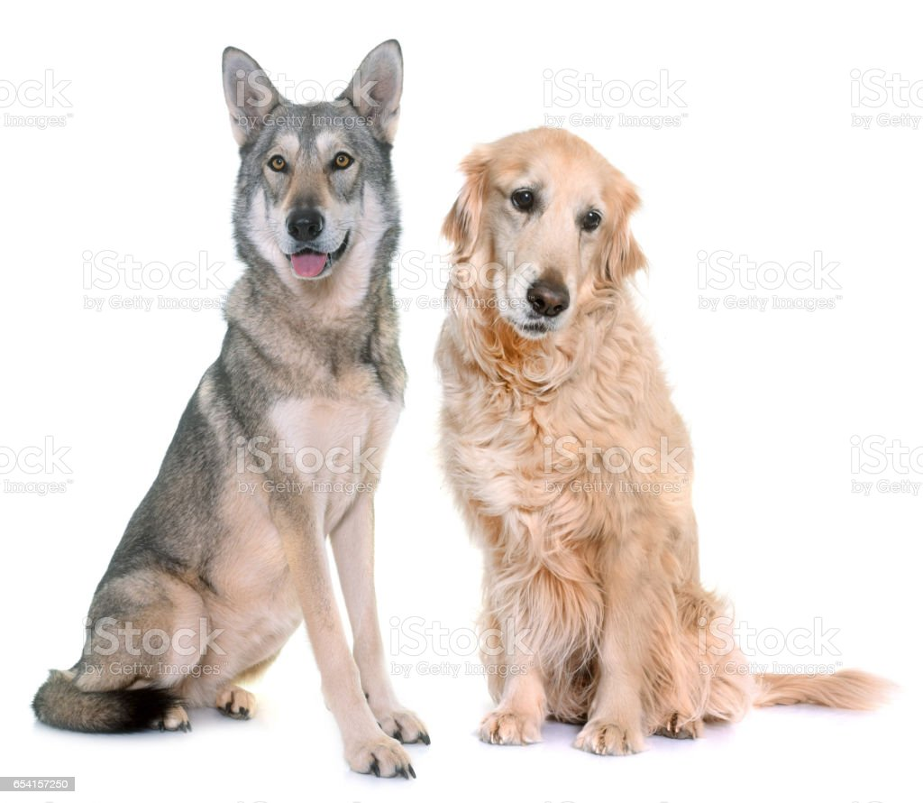 Saarloos wolfdog and golden retriever stock photo