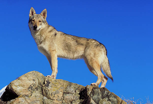 Saarloos wolfhond dog on a rock, side view, bluesky background stock photo