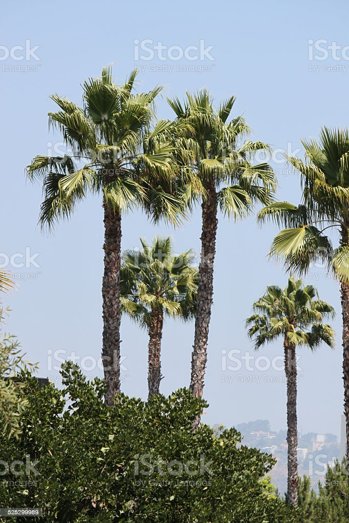 Cabbage Palm Pictures Images and Stock Photos iStock