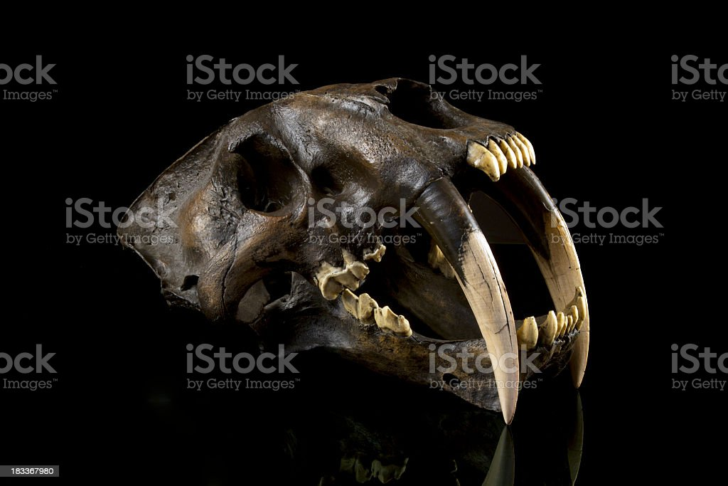 Saber Tooth Tiger Skull Fossil stock photo