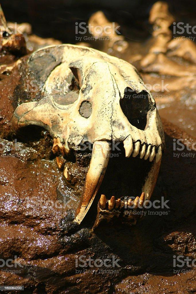Saber Tooth Tiger Skull royalty-free stock photo