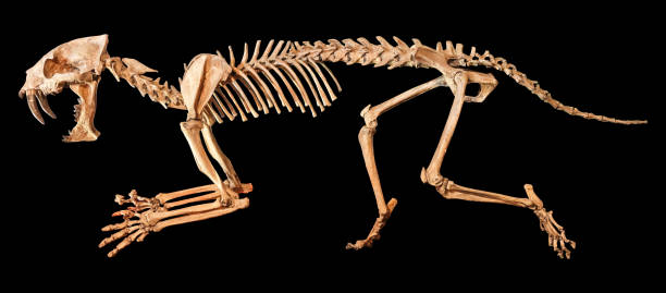 Saber - toothed tiger ( Hoplophoneus primaevus ) skeleton . Isolated background Saber - toothed tiger ( Hoplophoneus primaevus ) skeleton . Isolated background . cat skeleton stock pictures, royalty-free photos & images