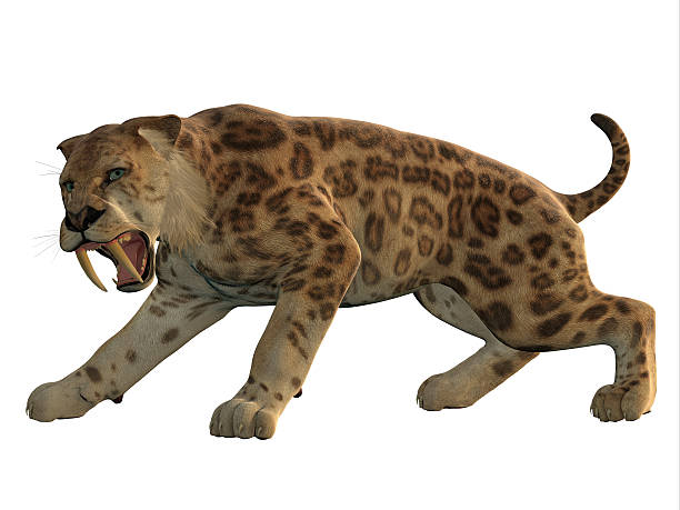 saber-tooth cat angry - carnivora stock photos and pictures