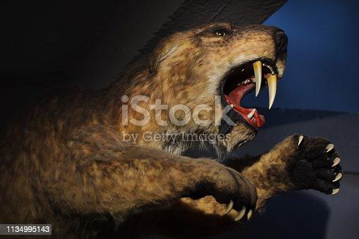 Saber-toothed tiger (Smilodon populator) displayed as a life size model.