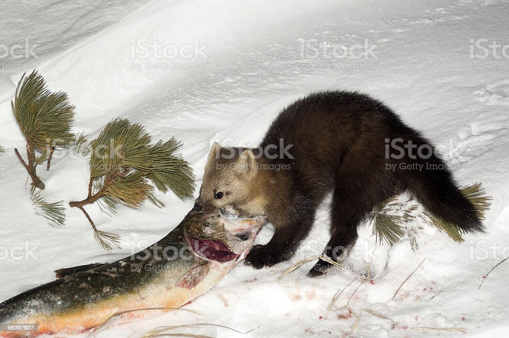 Sable and a fish. royalty-free stock photo