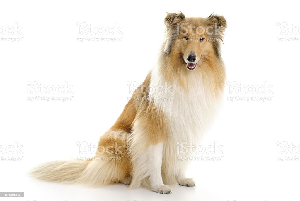sable and white collie stock photo