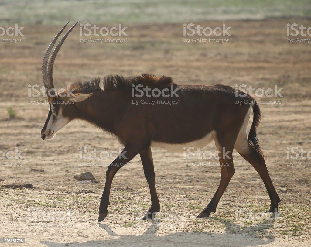 Antilope des sables  photo libre de droits