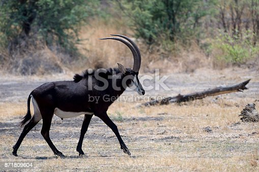 Sable Antelope in Caprivi Area - Namibia