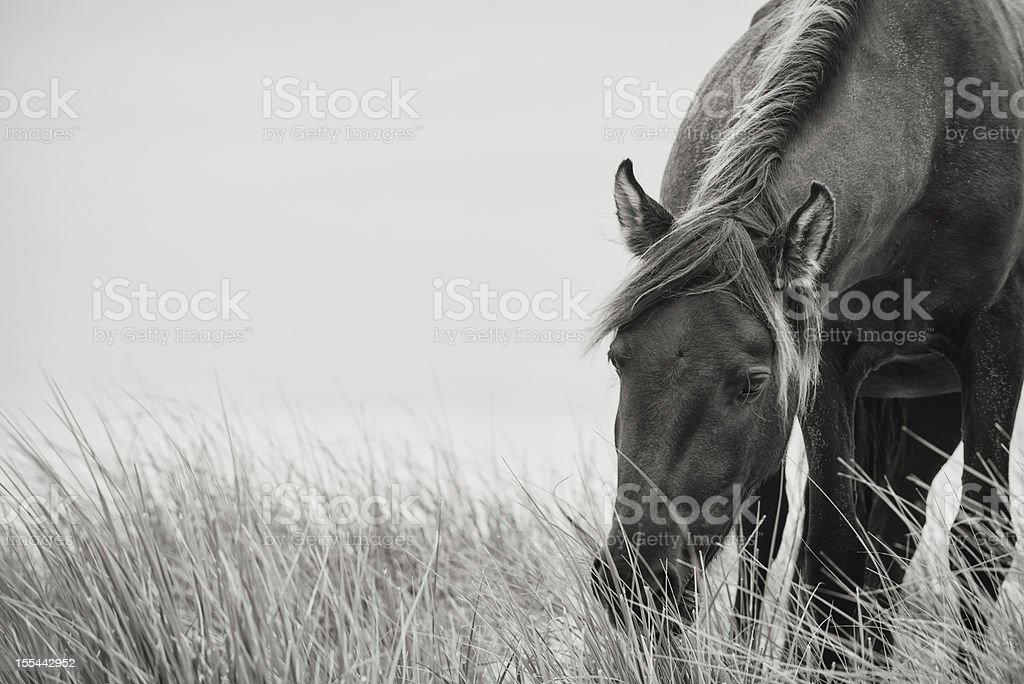 Sable Horse stock photo