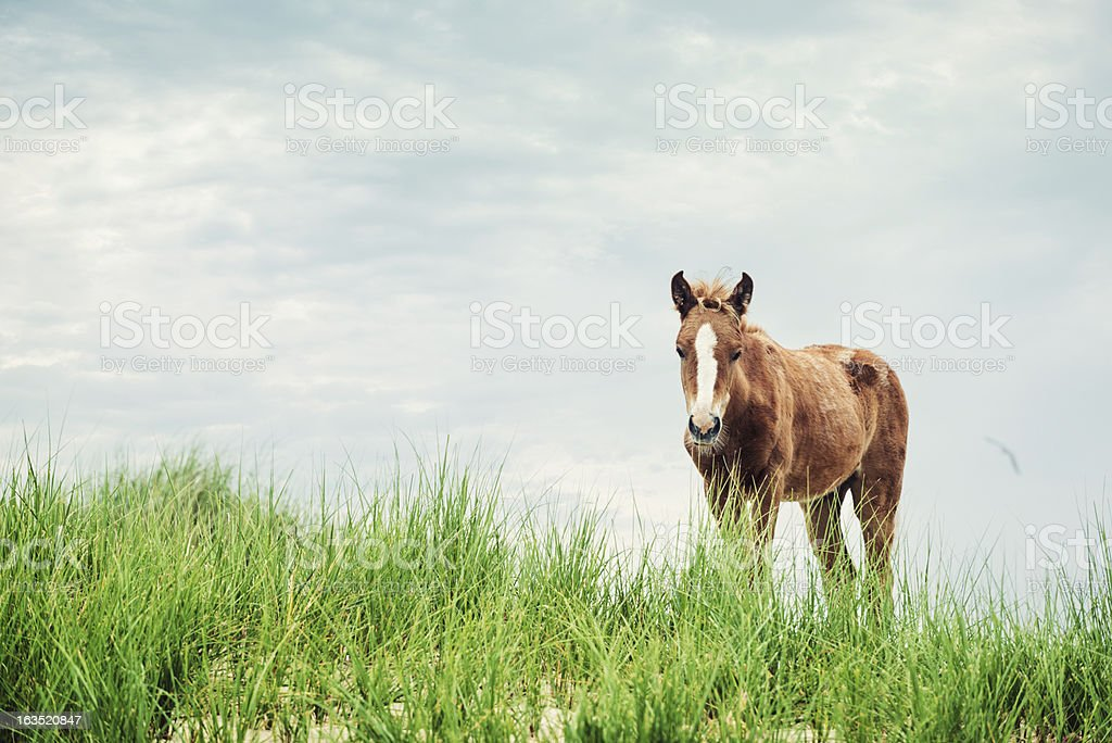 Sable Island Foal royalty-free stock photo