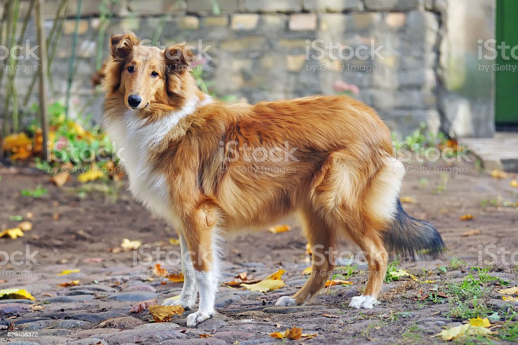 Sable rough Collie dog standing outdoors around fallen maple leaves stock photo