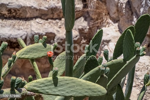 Sabra cactus plant, named after Israeli person, located in Jerusalem, Israel in summer