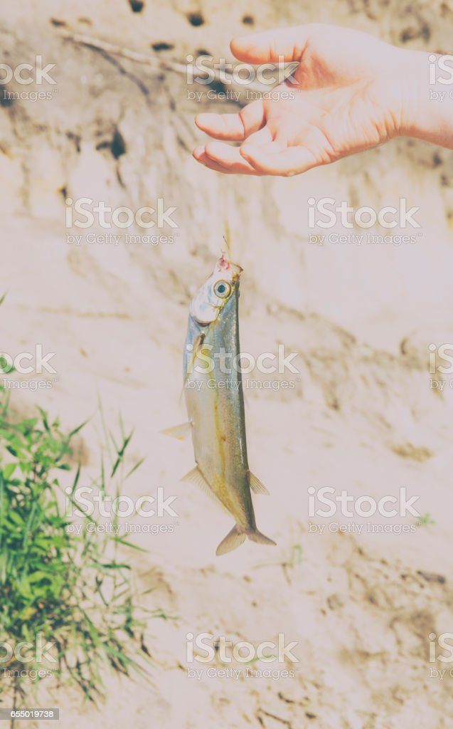sabrefish tricked in the summer. Fishing on the river stock photo