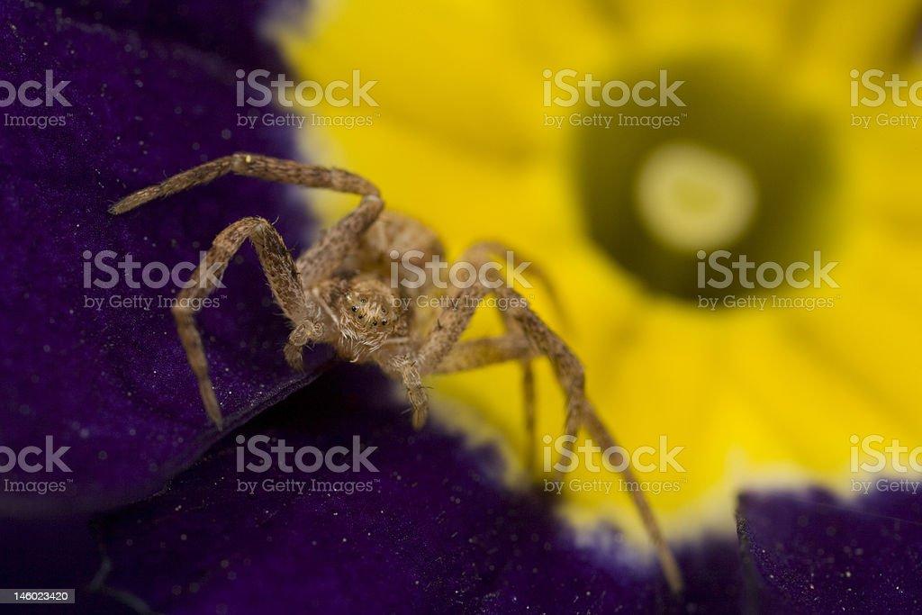 Sac spider on purple primrose royalty-free stock photo