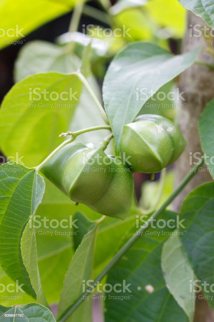 sacha inchi plant stock photo