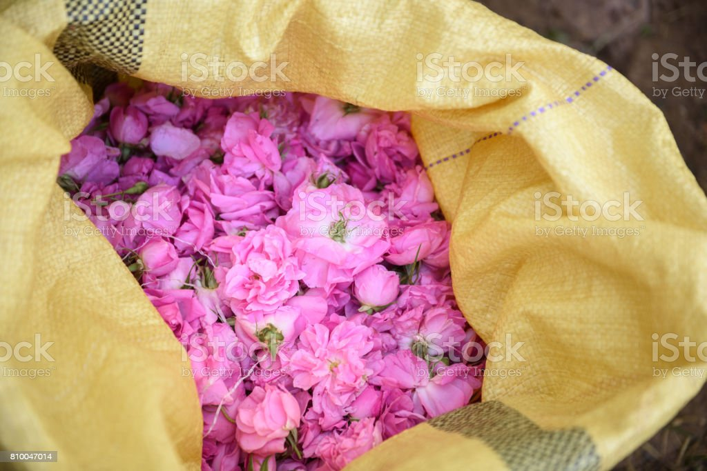 sack full of damask roses - foto stock