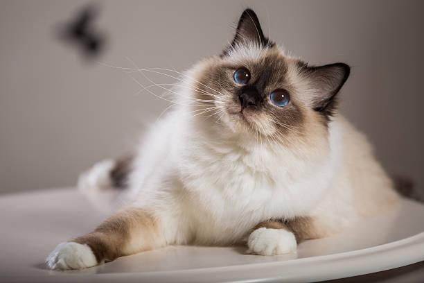 Sacred birma cat in interior picture id623368750?b=1&k=6&m=623368750&s=612x612&w=0&h=l9eytltsrpap39ii0igztdon1hihano5cfq9ufk90ww=