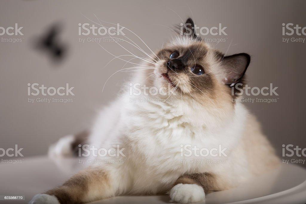 sacred birma cat in interior stock photo