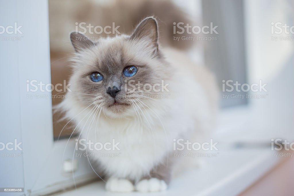 sacred birma cat in interior, with window stock photo