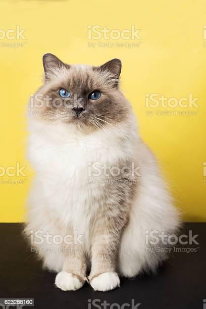 Sacred birma cat on a black background isolated picture id623288160?b=1&k=6&m=623288160&s=612x612&h= xe asxzsq9m4rnufobjgnjms4etusxwco9dmkjhxmc=