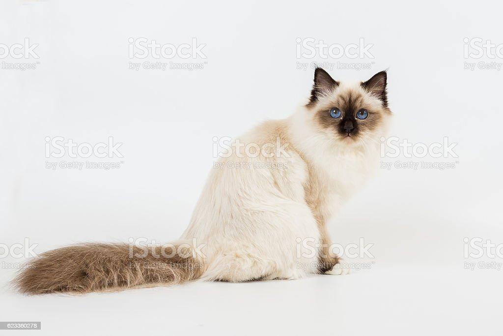 sacred birma cat on a white background, isolated stock photo