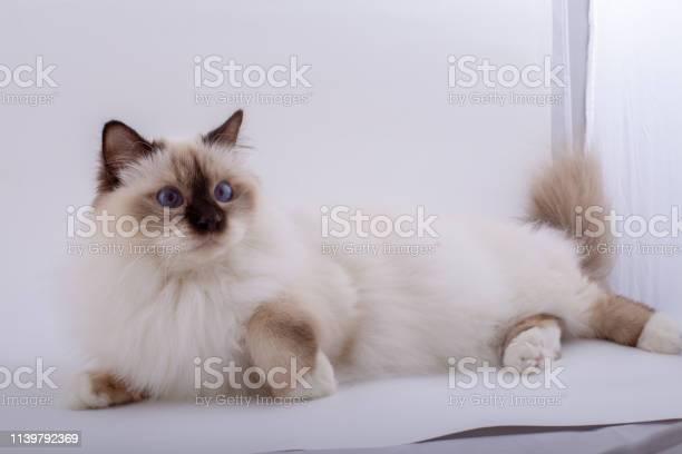 Sacred birman cat birma picture id1139792369?b=1&k=6&m=1139792369&s=612x612&h=ga17gpyx90pnuojvunnwwodymnn4xikz7rxbvecrmbc=