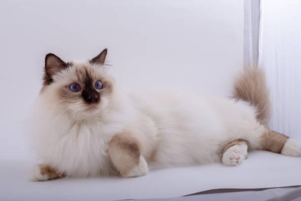 Sacred birman cat birma picture id1139792369?b=1&k=6&m=1139792369&s=612x612&w=0&h=ca nhmevy2cu7e6mwae7wbttnopmoacgfu4utngxwqg=