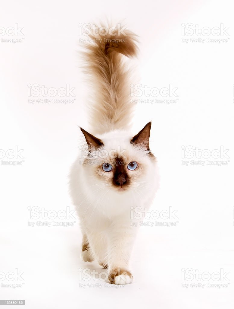 Sacred Birman cat stock photo