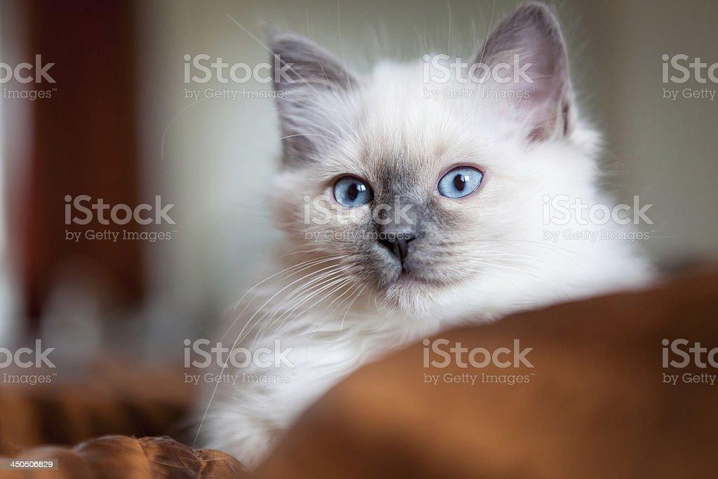 Sacred birman kitty stock photo