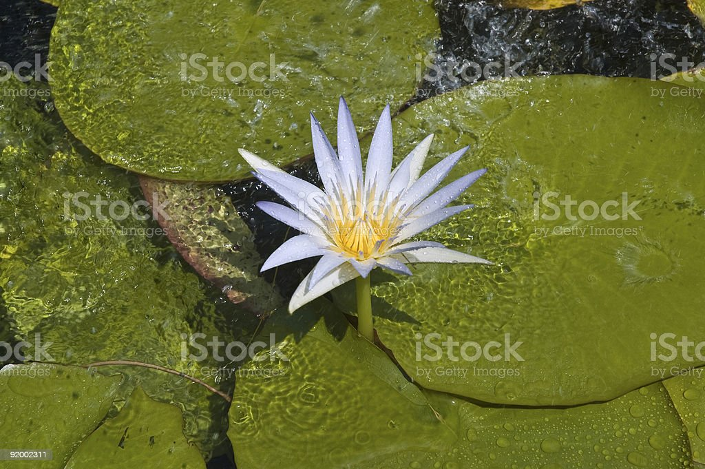 Sacred blue lily royalty-free stock photo