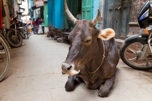 Sacred brown cow resting in a narrow street in Varanasi, India – Foto