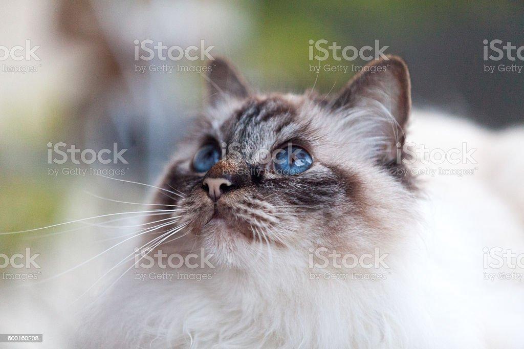 Sacred Cat of Burma stock photo