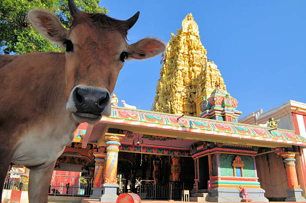 Sacred cow in front of Hindu temple, Sri Lanka stock photo