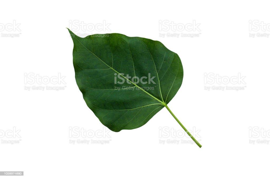 Sacred Fig Closeup stock photo