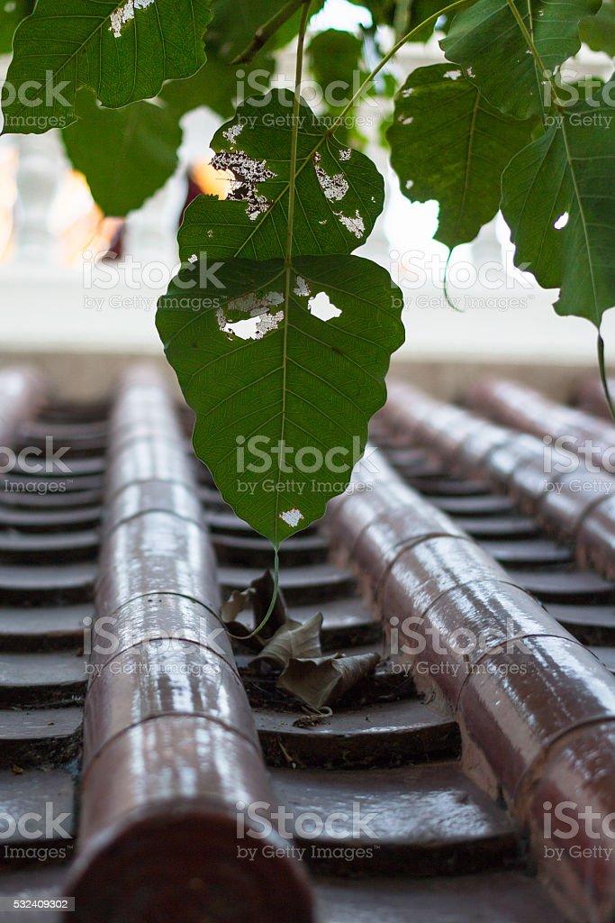 Священный Фиговый лист с крыша плитка на крыше Стоковые фото Стоковая фотография