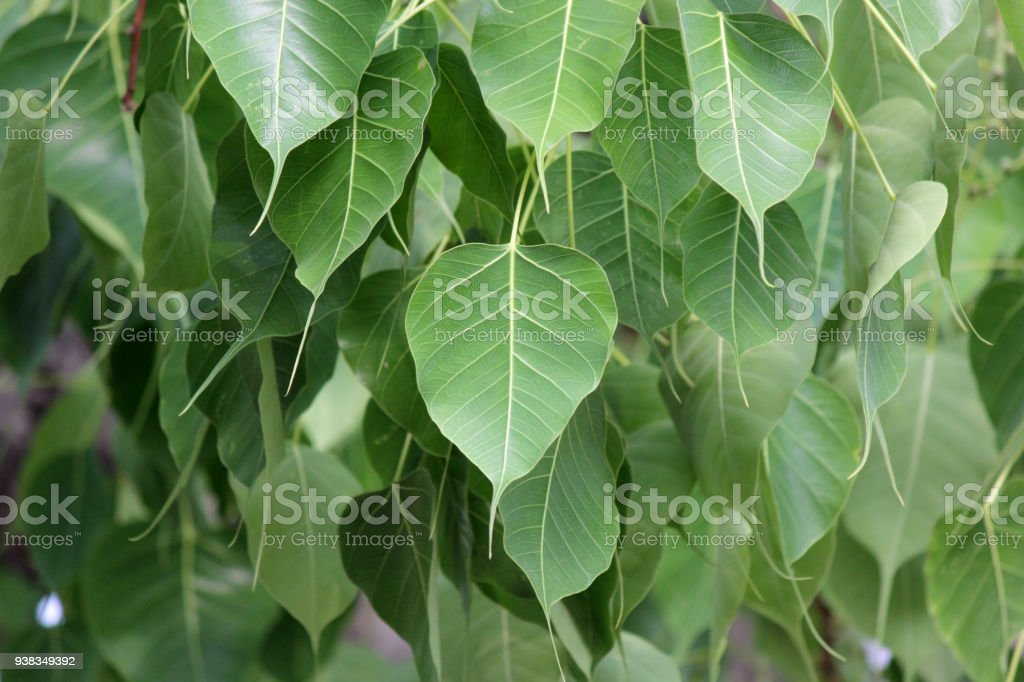 sacred fig or bo leaf stock photo