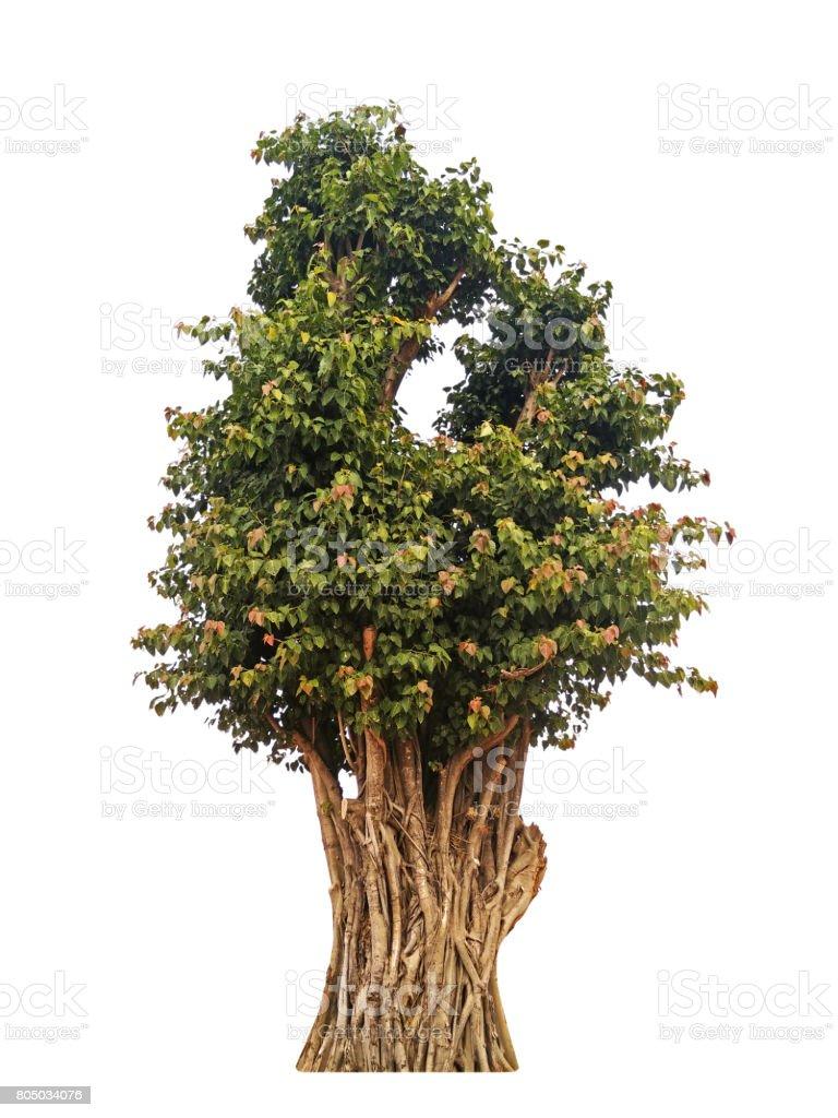 Sacred Fig or Bodhi Tree on White Background stock photo
