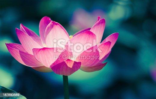 beautiful sacred lotus - nelumbo nucifera - closeup and cross processed imageIt is the symbol of Buddhism
