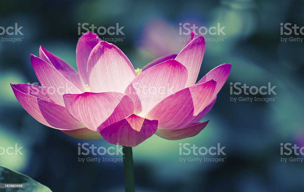 Sacred lotus cros processed image stock photo