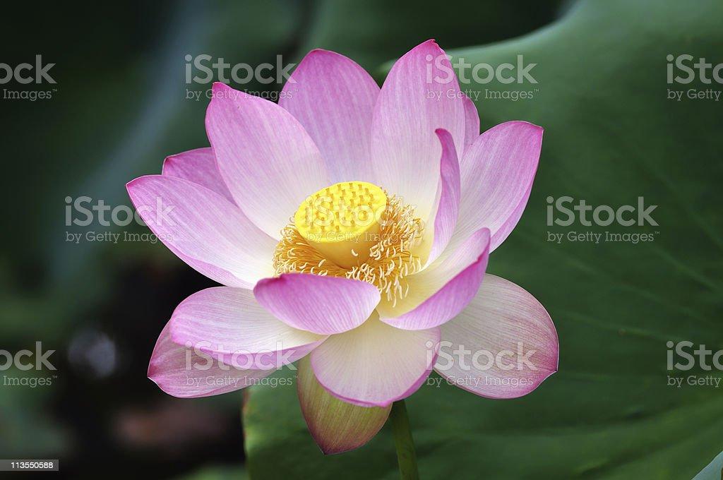Sacred lotus flower II royalty-free stock photo
