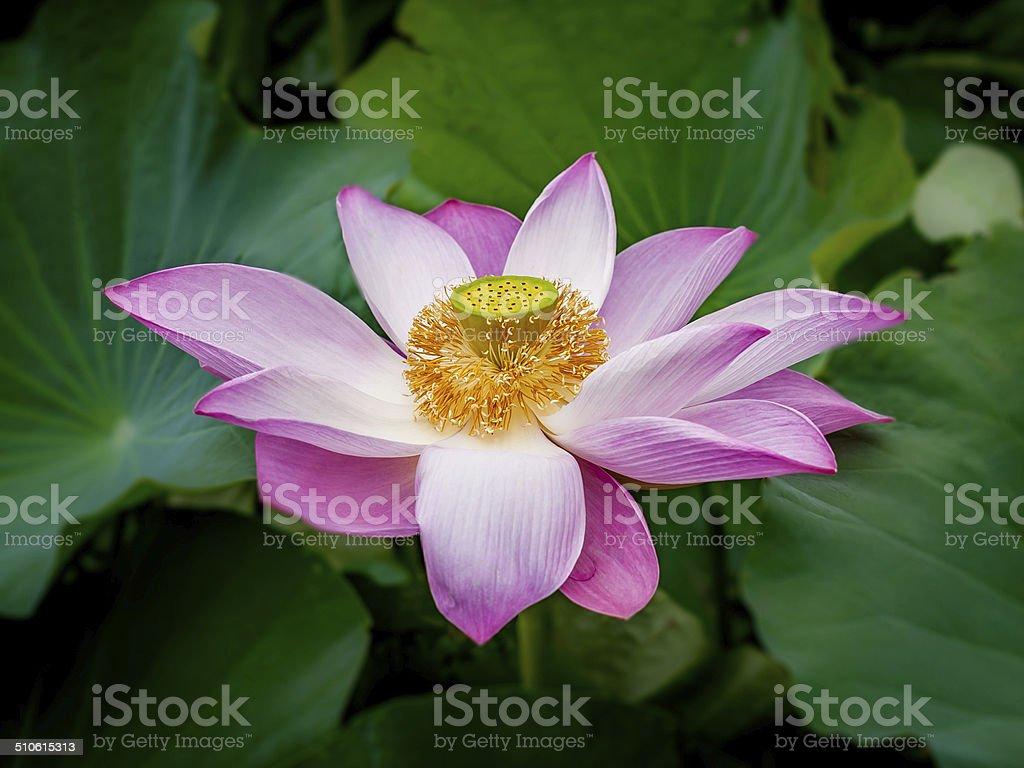 Sacred lotus flower stock photo more pictures of day istock sacred lotus flower royalty free stock photo izmirmasajfo